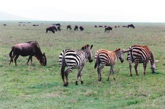 zebras_wildebeast_herd-serengetti