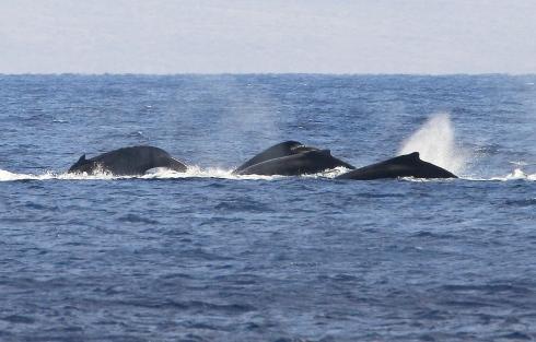 28 Feb  2013 - Four-whale comp pod