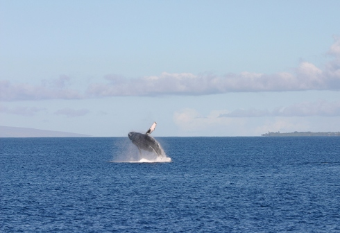 Breaching Humpback whale, Ma'alaea Bay, Maui -- 21 Jan 2010