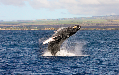 Breaching whale - 4 January 2015, Ma'alaea Bay, Maui