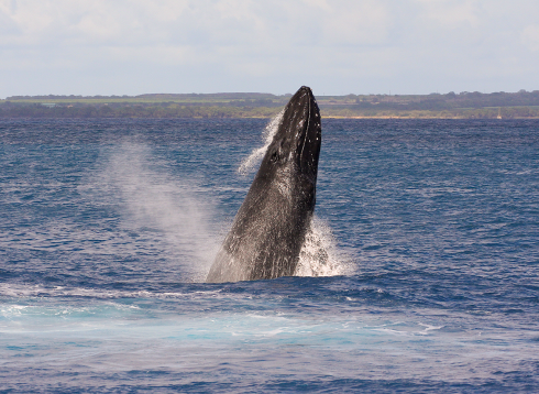 "This member of a four-whale competition pod performed several repetitive breaches. Note the many bump-like tubercles located on the upper and lower jaws. The ""blowhole"" (AKA ""nares"", actually TWO holes) is also visible atop the rostrum."