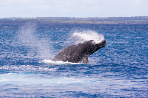 This member of a four-whale competition pod performed several repetitive breaches. Note the spray of seawater exiting both sides of his mouth