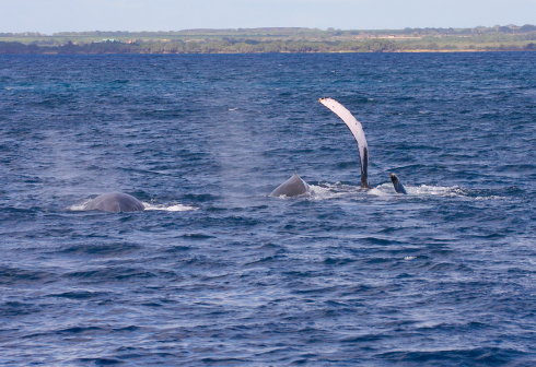 This female (?) Humpback whale (far right) has rolled over onto her right side, exposing the tip of her left fluke (barely visible at the surface) and her very long (4 m) pectoral fin, which she waves gently as two males in her competition pod struggle for a position to get closer to her.