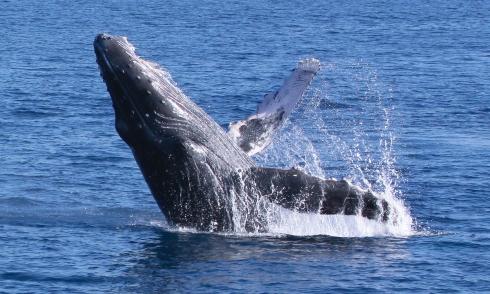 Breaching Humpback whale #1