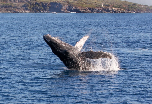A Humpback calf practicing breaching just of Papawai Point.