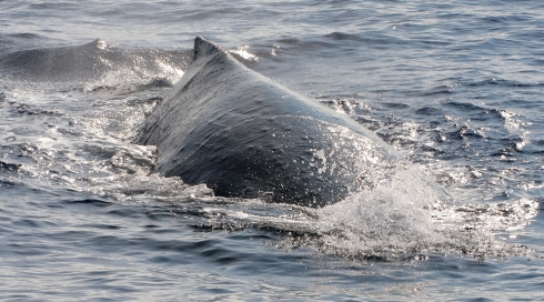 A large female leading a competition pod heads straight for my boat!