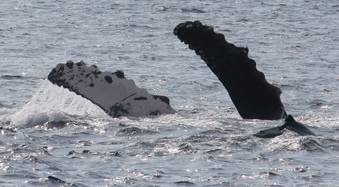 As a female Humpback whale rolls over onto her back, waving her pectoral fins, her days-old calf cruises at the surface just of the right of her left fin.