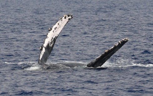 Female in a competition pod rolls over onto her back and begins waving her huge (15 feet long) pectoral fins.