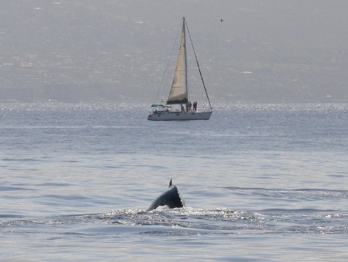 Whale bearing down on a sailboat