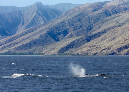 whales and Olowalu Canyon - 15 Feb