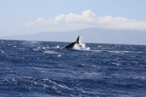 """Nice shot of a young adult Humpback whale performing a """"fluke slash"""", whereby the whale whips the lower third of its body (the """"caudal peduncle"""") violently from side-to-side."""