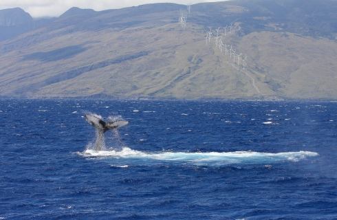 Flukeslap with the windmills of the West Maui Mountains in the background. 17 March 2015