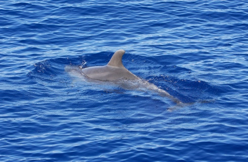surfacing dolphin-5
