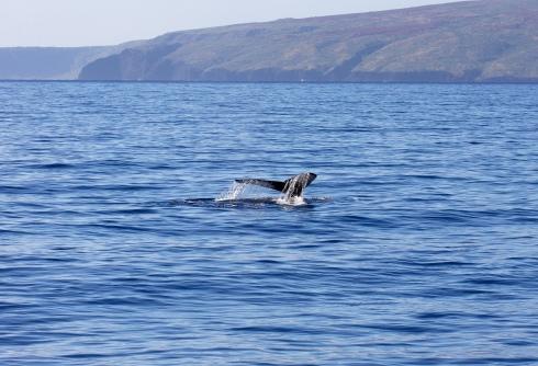 whale_molokini_kahoolawe-2
