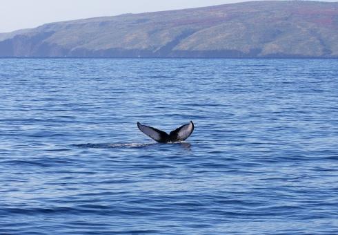 whale_molokini_kahoolawe-4