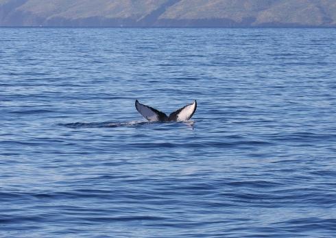 whale_molokini_kahoolawe-5
