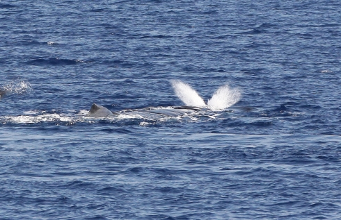 "I particularly like this shot of the beginning of a whale's ""blow"" because it shows that Humpback whales, unlike most other cetaceans, have a double-orifice nasal opening (similar to our own honkers)."