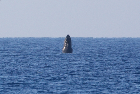 Shot this breaching whale at the maximum range of my 300 mm lens.