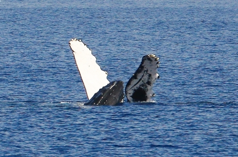 Invitation accepted! Note the second whale's head between the other's outstretched pectoral fins.