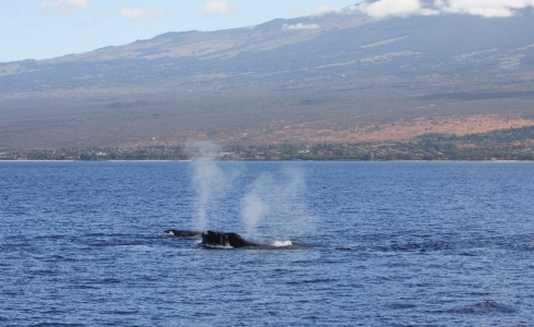 A female Humpback whale cruises the waters of waters of Ma'alaea Bay in the company of her primary male escort.