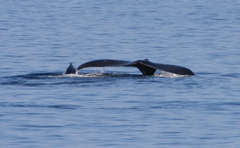 A mother and calf pair swim away from my boat after passing by at close range.
