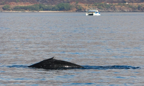The female with the hooked dorsal fin quietly logs at the surface as Pacific Whale Foundation's Ocean Intrigue slowly moves into position to view her and her newborn calf (behind her and to her right).