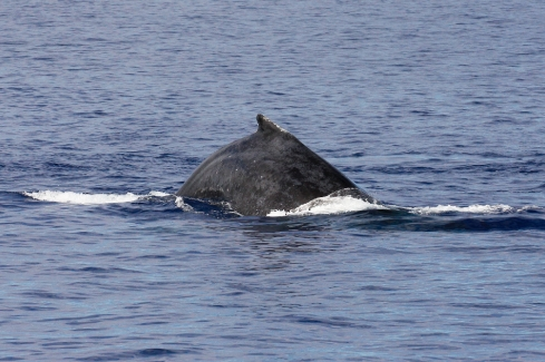 Nice closeup of a mature Humpback performing a round-out dive as it speeds past the Odyssey.