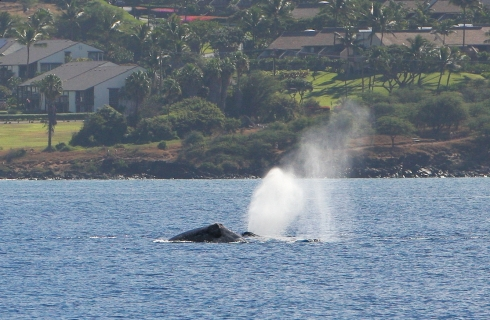 "One of a pair of whales exhales a plume of steam (or ""blow"") as it glides along the surface at a leisurely pace."