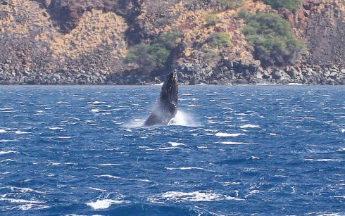 Young Humpback calves like this one usually aren't able to do full breaches (i.e., leap completely out of the water) because the peduncle muscles of the tail stock are not yet strong enough.