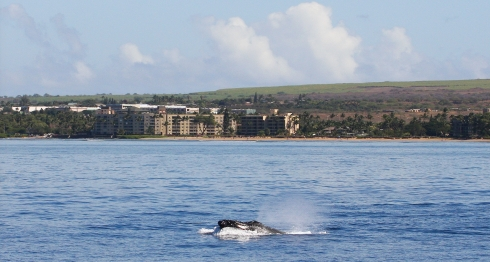A solitary whale does a head lunge as it surfaces just offshore from Kalepolopo Beach