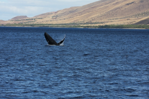 older calf breaching