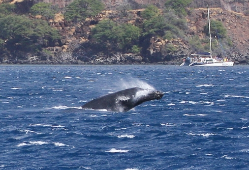 The calf performs a very noisy reverse breach, landing on its back.