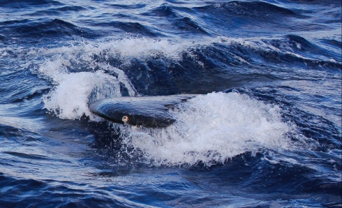 A member of the competition pods swims close enough to the boat its flukes brushed the hull.