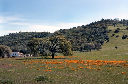 poppies-Berkeley Hills 1977
